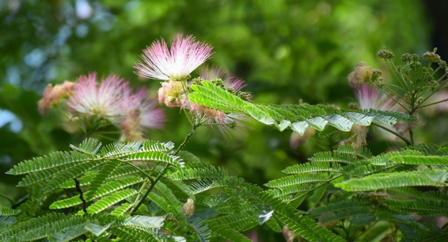 У Ботанічному саду міста Ужгород буйно квітне унікальне дерево – Альбіція Ленкоранська.
