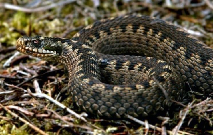 Змії в Карпатах: медики розповіли про міфи та реальність
