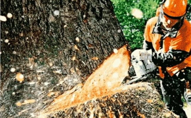 Власник лісопилки на Рахівщині незаконно рубав ліс