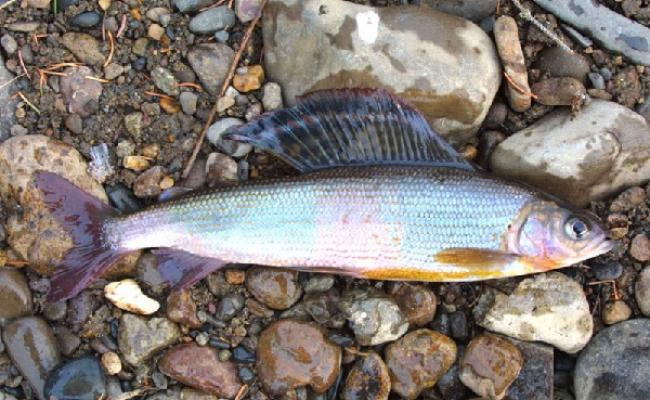 На Закарпатті за червонокнижну рибу виписали штраф на 14 000 гривень