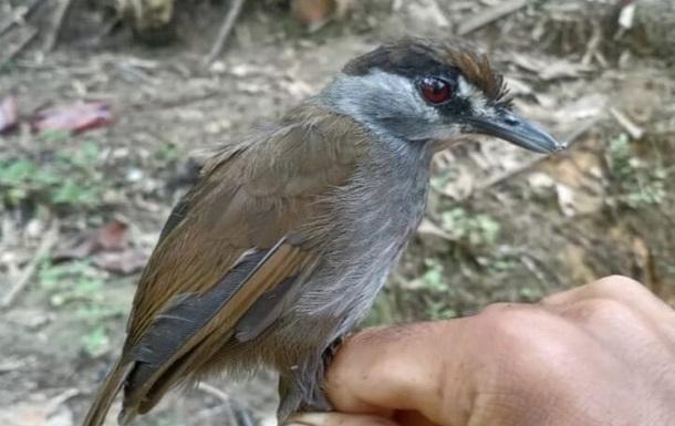 Мариголд мышь timeliya не бросается в глаза в течение почти двух столетий. Он был случайно обнаружен в лесу провинции Саут-Калимантан.