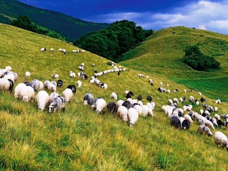 Міжгірщина запрошує на свято вівчарських традицій