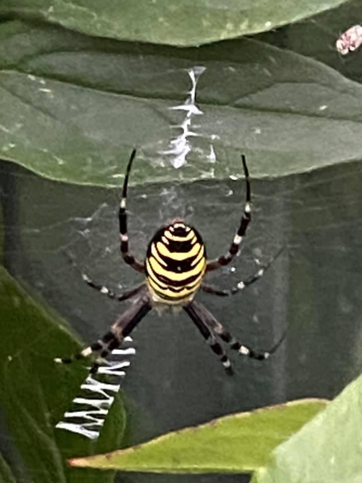 Упродовж останнього місяця на Закарпатті виявляють доволі рідкісних для регіону павуків.