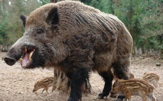 На Закарпатті планують зменшити популяцію диких кабанів