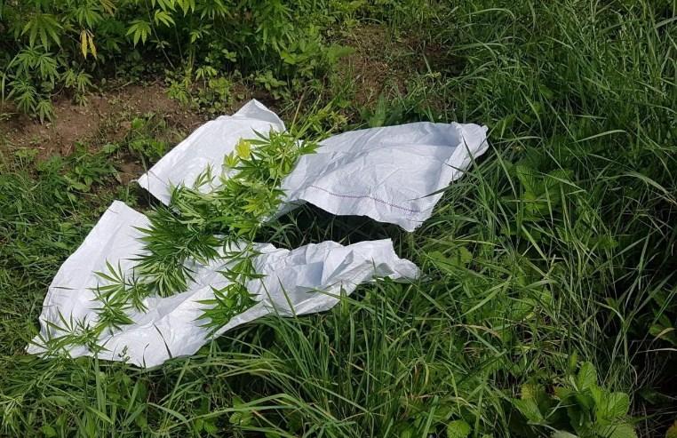 Черговий випадок вирощування конопель зафіксували вчора у селі Дийда на Берегівщині.