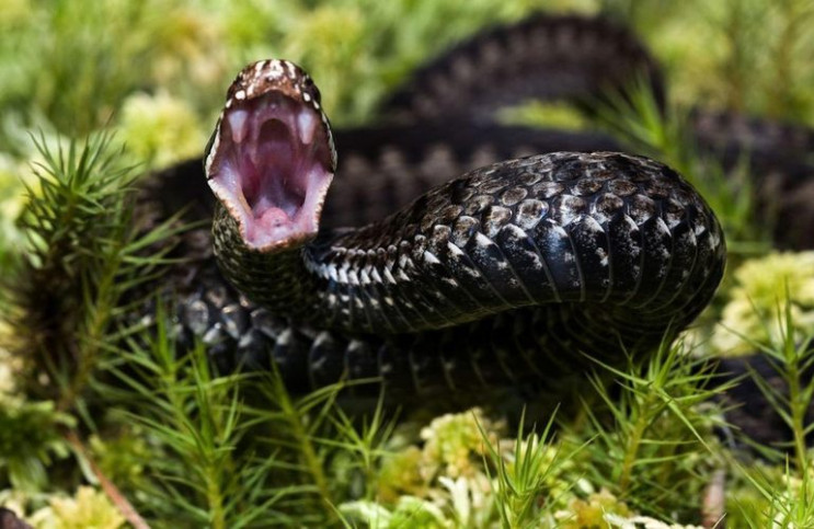 Змія напала на 9-річного хлопця з Бібрки.