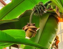 Столиця Закарпаття багата не лише на сакури, але й екзотичні банани