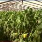 """""""Їхати на заробітки чи рятувати пізні сорти"""": на Виноградівщині фермери, які не виїхали на заробітки після паводку, збирають пізній урожай (ВІДЕО)"""