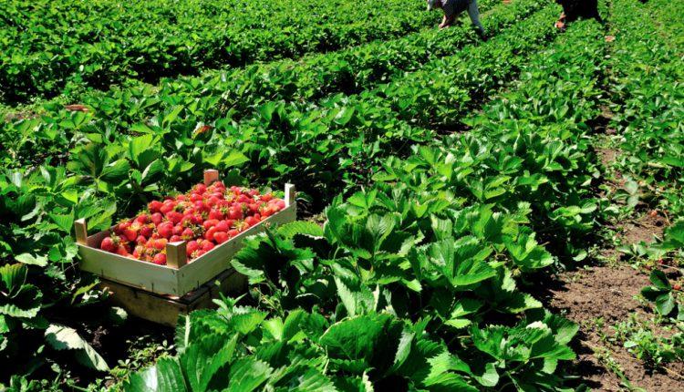 Полуницю на Закарпатті вирощують всюди, та найбільше її мабуть на Виноградівщині. Солодка ягода облюбувала тутешній клімат, а тому і тішить фермерів гарним врожаєм.