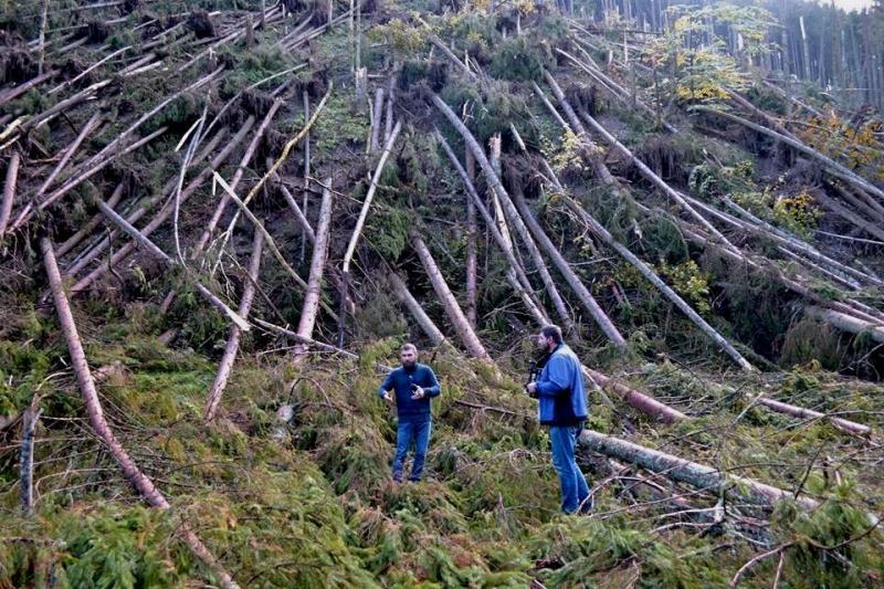 На Закарпатті масово хворіють і сохнуть хвойні дерева