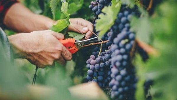Закарпатцям на замітку. Виноград і його користь для нашого здоров'я
