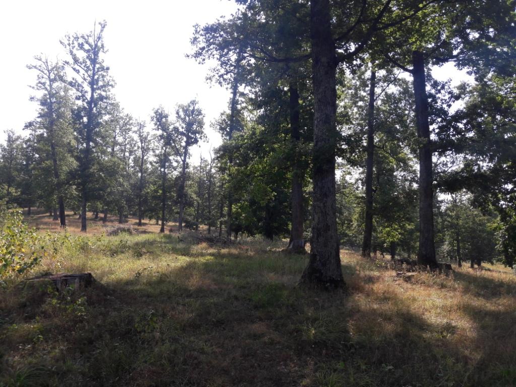 Громади кількох сіл Тячівського району намагаються захистити столітні дуби від місцевого лісгоспу і «чорних лісорубів».