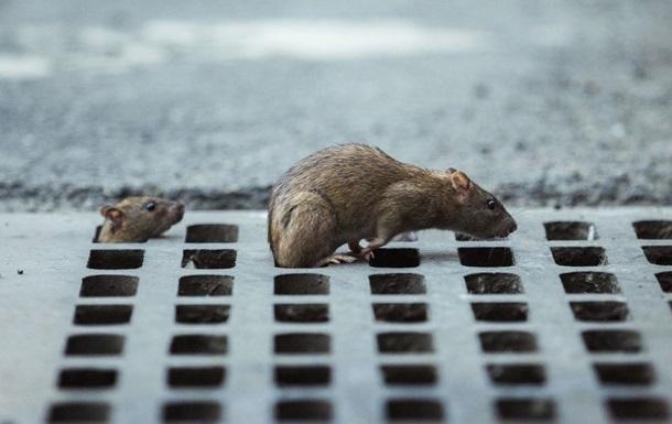 Где именно произошла инфекция, неизвестно, но пациент увидел в своем доме крыс, которые являются носителями хантавируса.