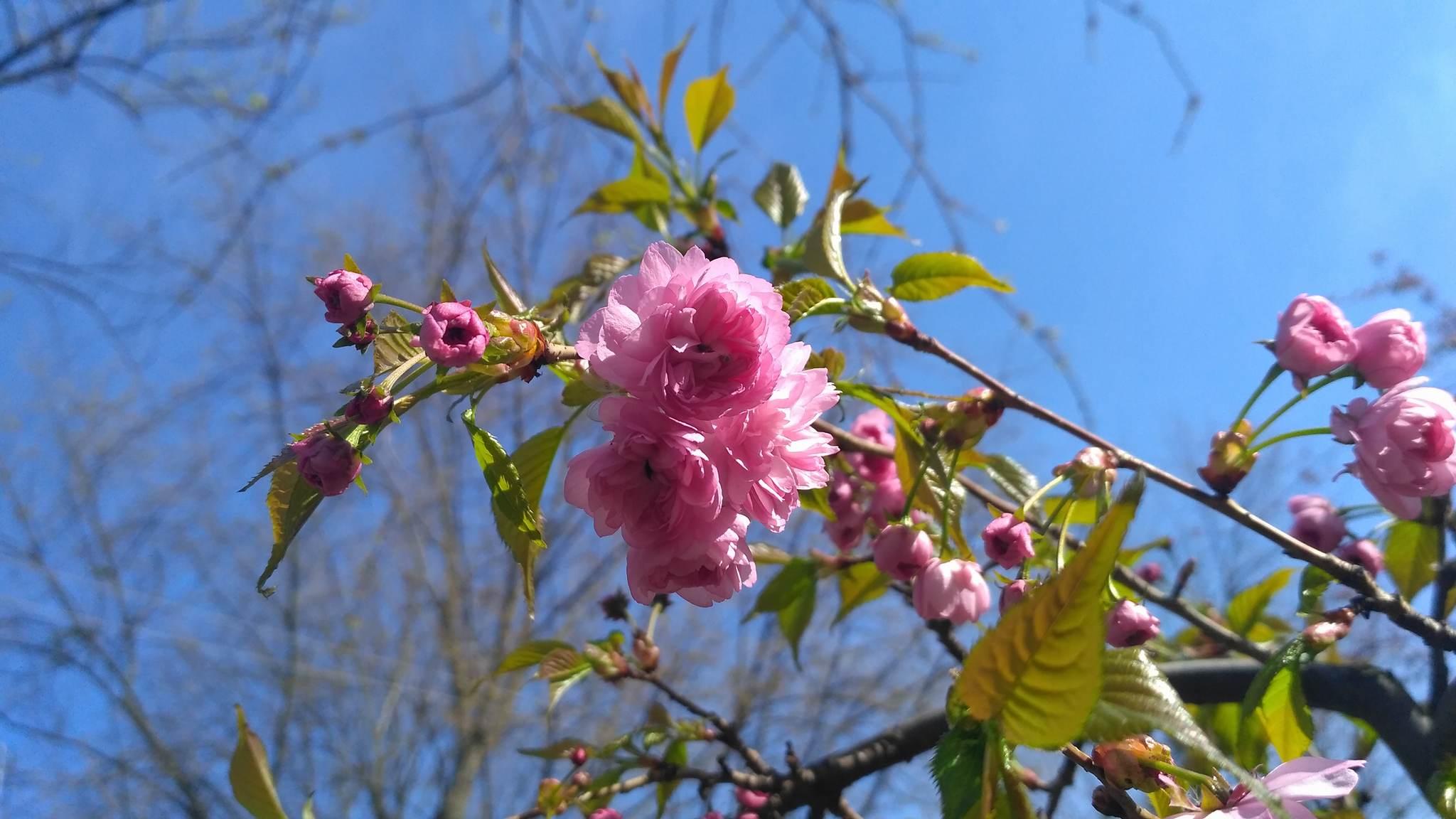 В Ужгороді розквітли перші сакури