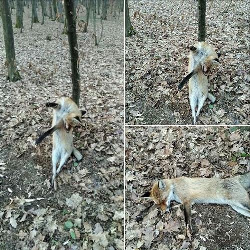 В Ужгородському лісі в районі Шахта прямо біля стежки на дереві за дріт повісили лисицю.