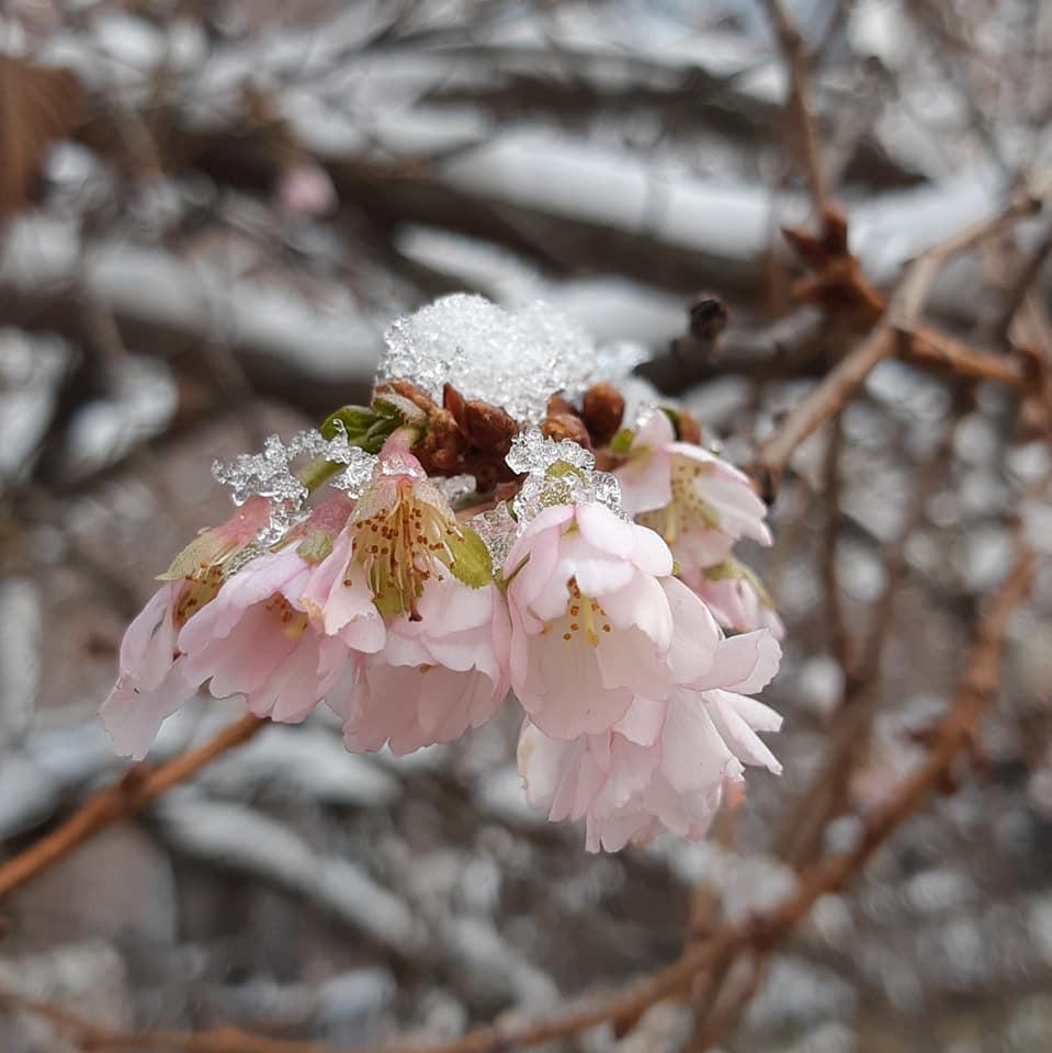 В Мукачеві навіть при -6С цвіте дерево сакури.