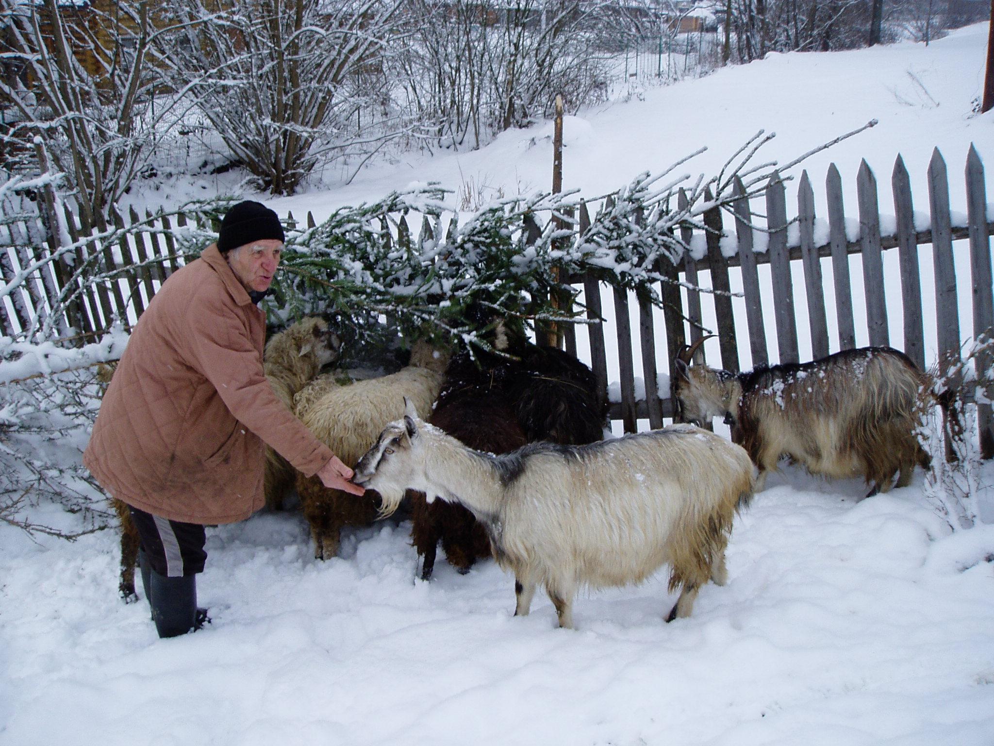 Вівчарам ніде реалізувати овечу вовну
