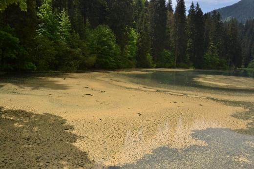 Смерековий пилок укрив озеро Синевир.