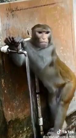 Мавпа повелася логічно і після того як напилася води закрила кран.