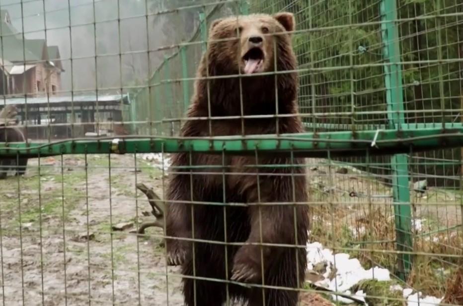 """В НПП """"Синевир"""" повертають до повноцінного життя десятки ведмедів"""