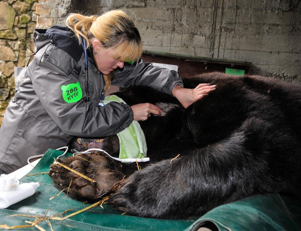 Провели унікальну операцію бурому ведмедю