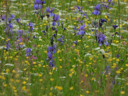 Незважаючи на те, що цій місцевості дали назву нарциси, цвітіння в Долині не припиняється після того, як закінчується їхній сезон. Правда, цьогоріч, через холодну весну, там усе змішалося.