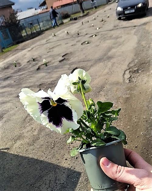 Фото 2 - На Закарпатті ями на дорогах по маршруту Порошенка прикрасили квітами у вазонах (ФОТО)