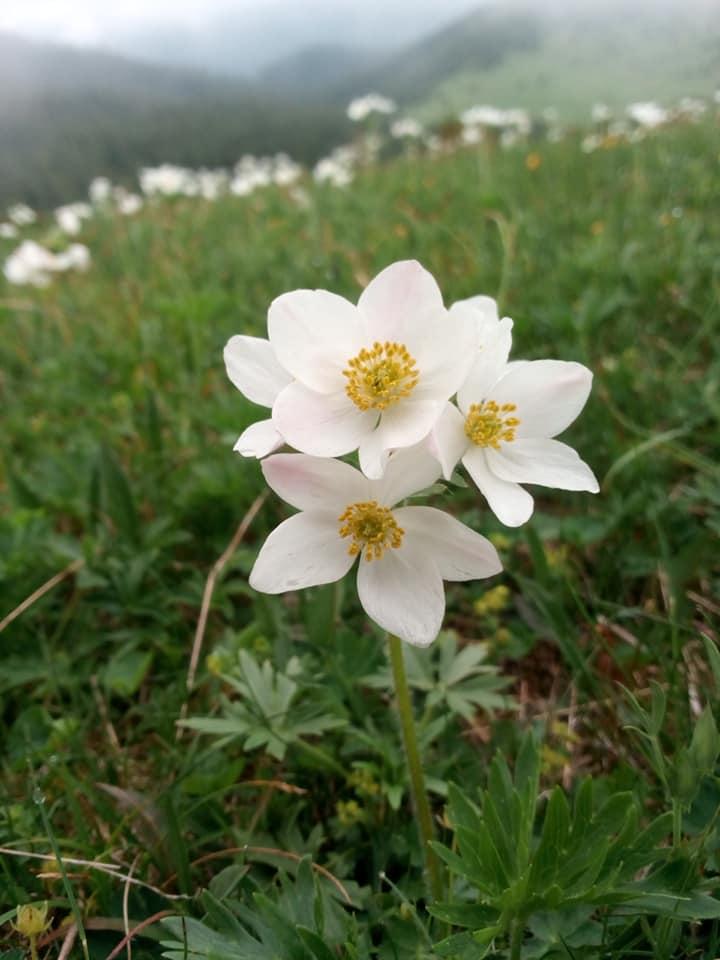 природа Карпат радует глаз невероятно красивым цветением.