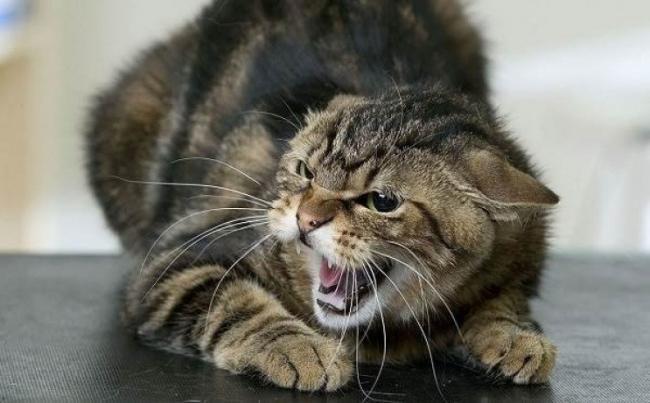 У селищі міського типу  Міжгір'я в Хустському районі у кішки виявлено небезпечну хворобу - сказ.