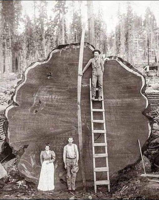 Вырубаемое дерево на фото впечатляет своими размерами.