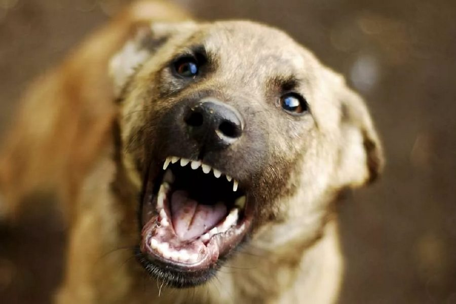 Випадки нападів собак, як безпритульних так і чиїхось, на людей завжди привертають до себе особливу увагу громадськості.