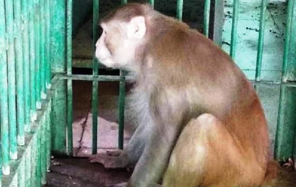 Мавпа ходила вулицями і нападала на людей. Примат залишився без алкоголю, який йому наливав померлий господар. В результаті агресивних дій тварини одна людина померла, а 250 постраждали.
