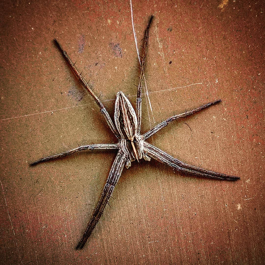 Чи варто остерігатись павука Pisaura mirabilis – читайте далі.