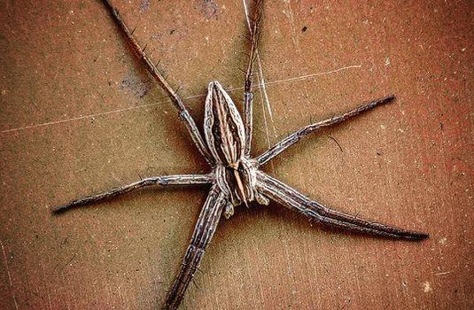 Шиповані лапки та моторошний вид: у Мукачеві помітили павука-няньку (ФОТО)