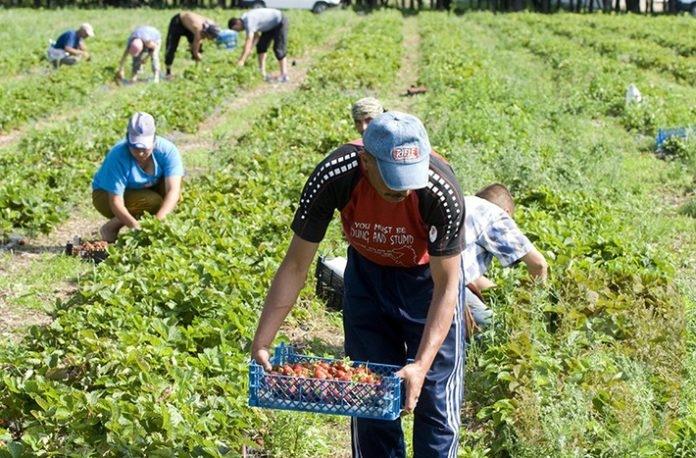Нікому працювати: закарпатські фермери наймають на збір ягід ромів, щоб менше платити