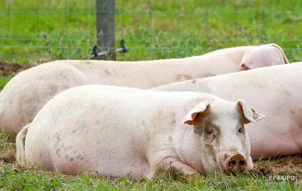 У Китаї свиня насмерть загризла фермера