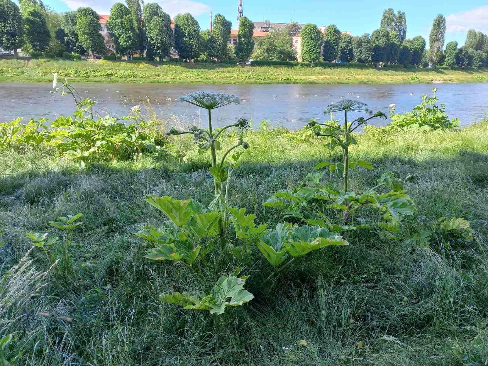 Через зарості небезпечної рослини неможливо дістатись до води в річці Уж.