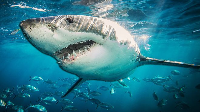 Великі білі акули можуть допомогти у лікування раку, а також хвороб, які пов'язані із старінням, сподіваються науковці.