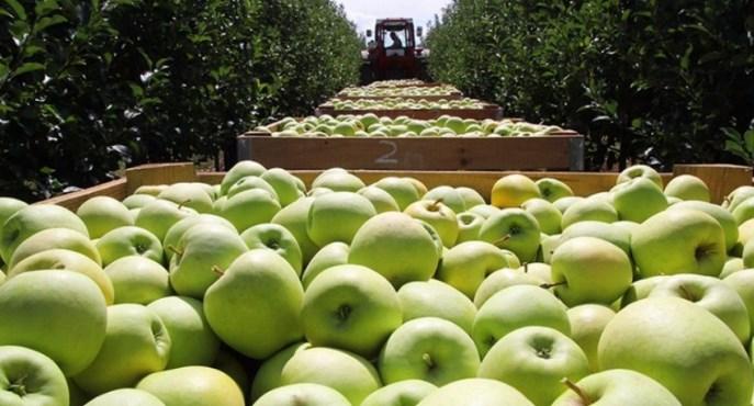 Українці вибирають легшу сезонну роботу і не хочуть їхати на збір яблук.