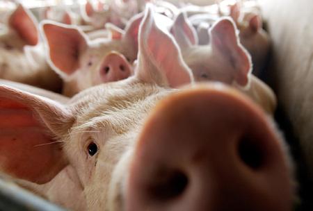 На Закарпатті зафіксували новий спалах чуми свиней