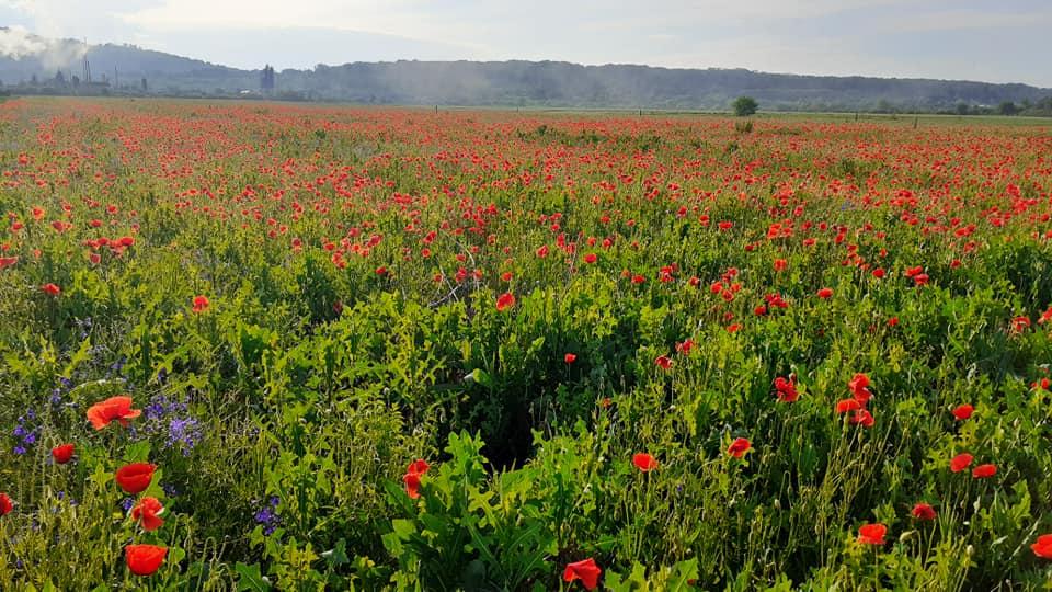 В Мукачеві квітує ціле поле диких маків.