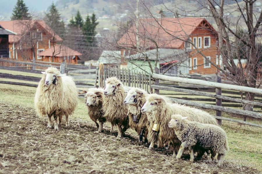 На 1 грудня 2019 року в Україні нараховувалося 1,35 млн голів овець і кіз, що на 3,6% менше, ніж на аналогічну дату 2018 року.