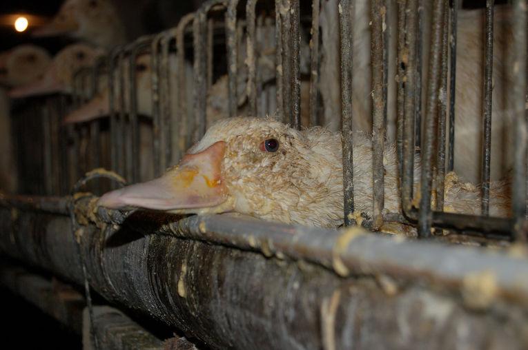 """""""Миронівський хлібопродукт"""" з вересня 2019 року припиняє виробництво гусячого м'яса та фуа-гра на Снятинській птахофабриці."""