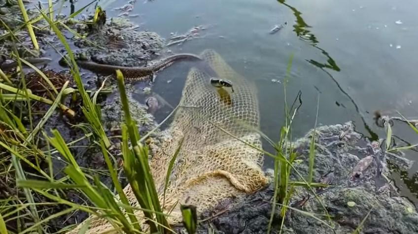 Миле відео зі спробами вужика отримати уже зловлену рибку відзняв рибалка з Виноградова.