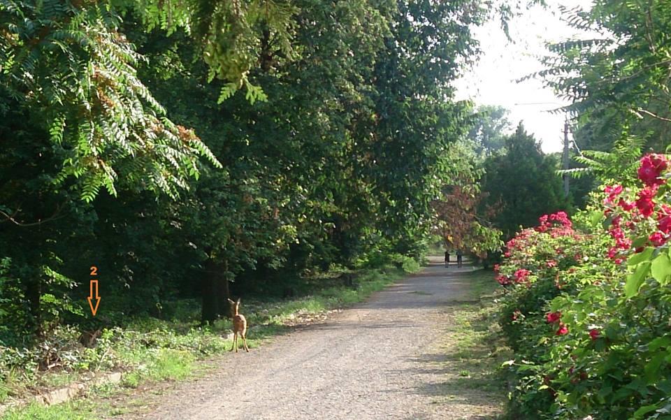 У Боздоському парку Ужгорода помітили козуль
