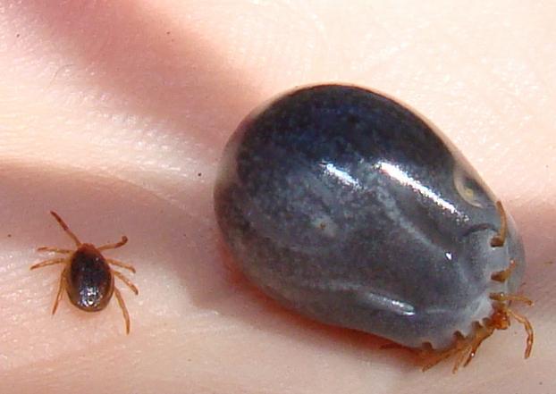 Обережно: на Закарпатті активізувалися іксодові паразити-кровопивці