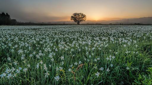 Пік цвітіння найбільшої в Україні галявини, де в дикій природі росте нарцис вузьколистий, фахівці прогнозують на 22-23 травня.