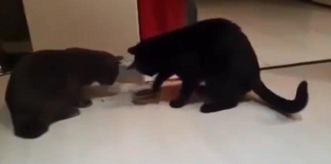 Коти виявилися в ситуації, коли змушені були ділити одну миску з ласощами на двох.