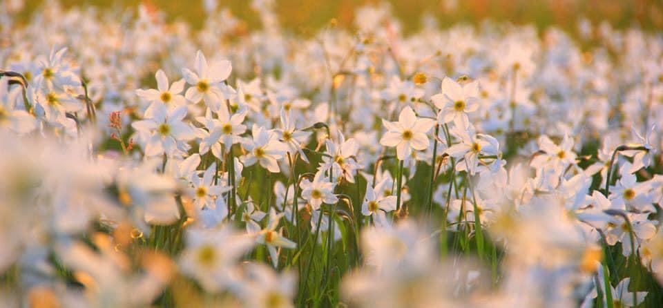 """""""Туринформ Закарпатья"""" сообщает, что в период массового цветения, через карантин закроют одну из самых популярных локаций, которую ежегодно посещают десятки тысяч гостей."""