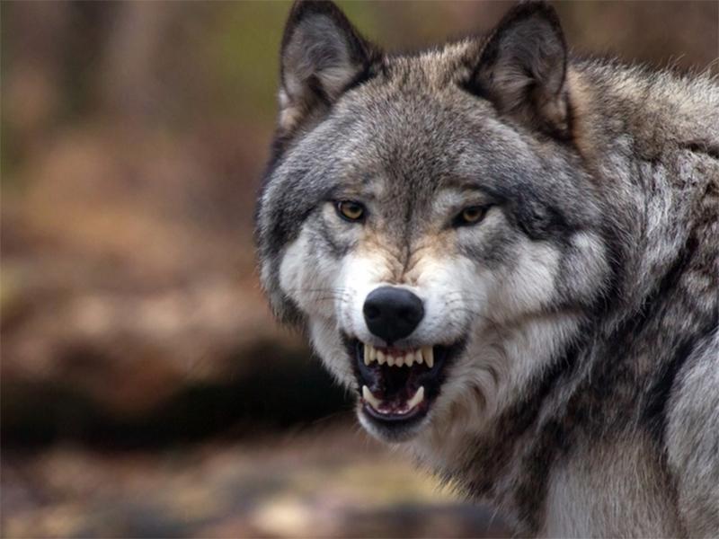 В Усть-Чорній на Тячівщині вовки загризли чотирьох овець.